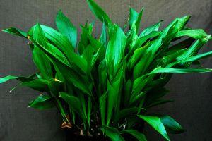 Kukoricalevél (Aspidistra elatior)