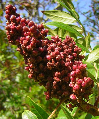 Ecetfa érett termése