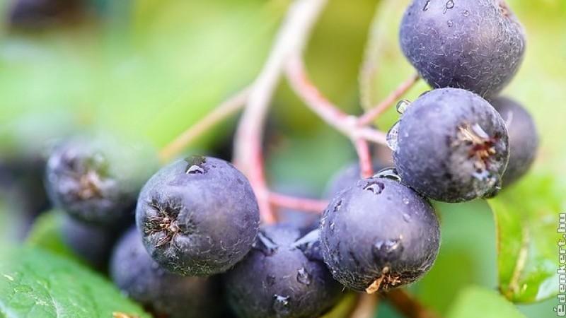 Hogyan termesszünk fekete berkenyét?