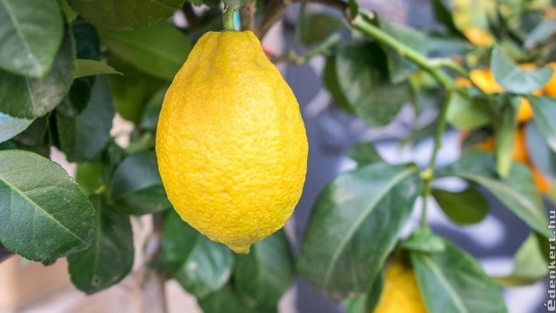 Milyen citrusféléket érdemes otthon nevelni?