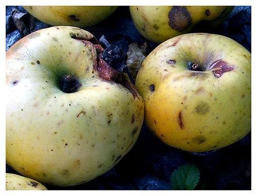 romlott alma