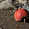 Mi  legyen a hullott gyümölccel?
