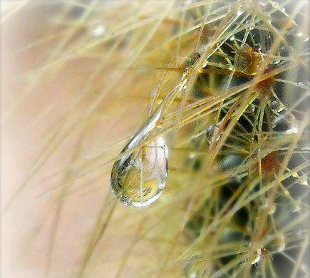 kaktusztövisek vízcseppel