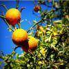 Citruskert a teraszon