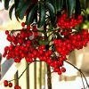 Csúcs ez a virág! - avagy a Csúcsvirág (Ardisia crispa)
