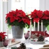Mikulásvirág, a kedvenc karácsonyi szobanövény