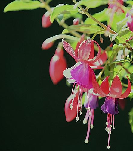 Lila fukszia virág