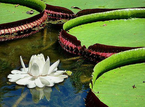 Victoria Amazonica virága