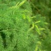 Hogyan lesz szép az aszparáguszunk? (Asparagus sp.)