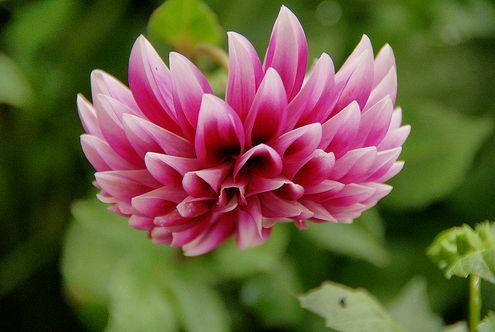 Dália rózsaszín