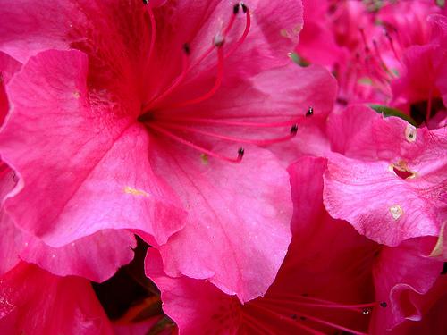 Rododendron virága