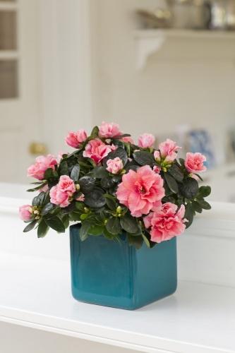 azalea_rhododendron_simsii