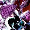 Fittónia (Fittonia verschaffeltii)