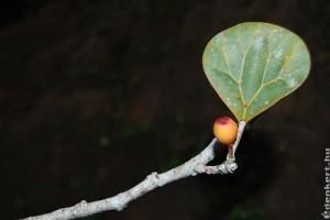 Fagyöngyfüge vagy fagyöngy fikusz (Ficus deltoidea)