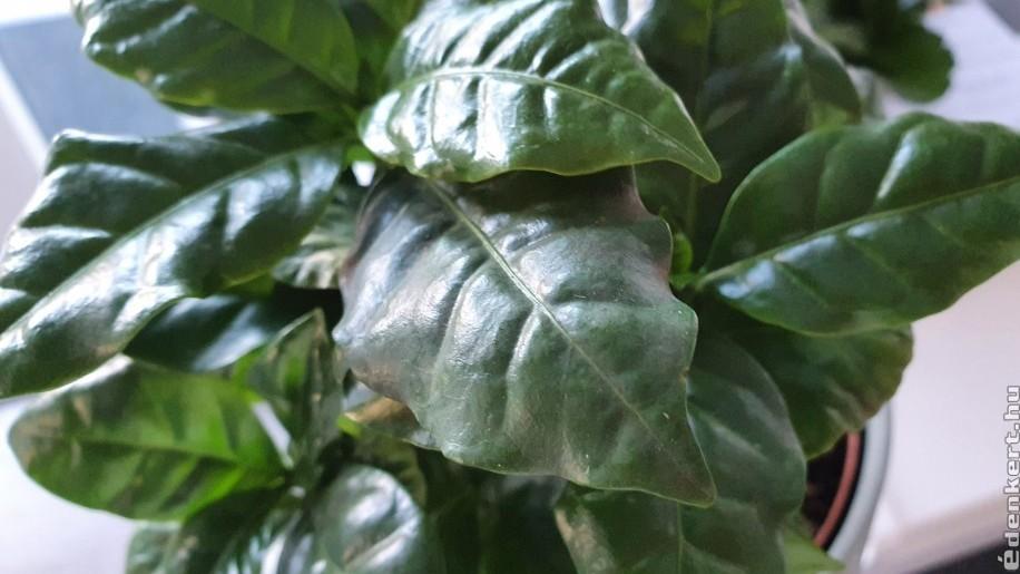 Fényes, zöld leveleivel díszít a kávécserje