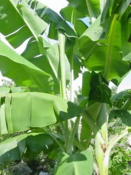 banánfák