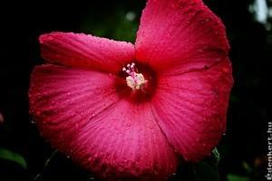 A mocsári hibiszkusz helye a kertben
