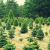 Az élő karácsonyfa