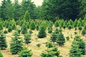 Így ápold az élő karácsonyfát, hogy túlélje az ünnepeket