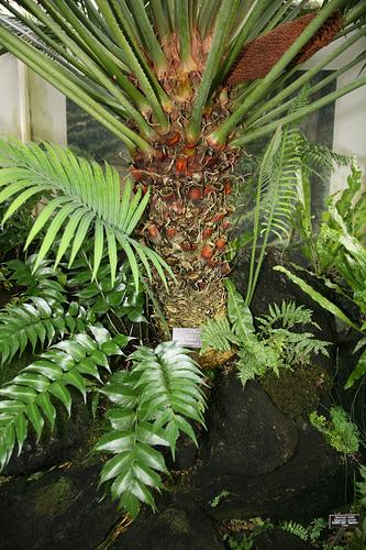 Cycas-circinalis-cikasz