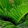 Hogyan neveljük a cikászt (Cycas circinalis)?