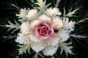 Káposztát virágnak? Próbáljuk ki!