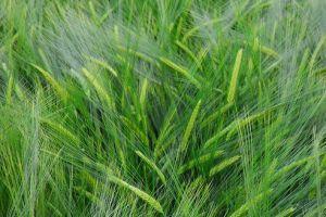 Mit gyógyít a Tönkölybúzafű (Triticum spelta)?