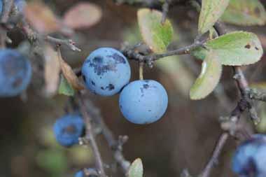 Kökény-gyümölcs