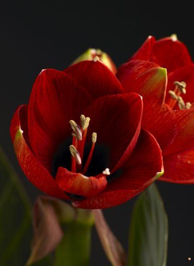 Lovagcsillag virága