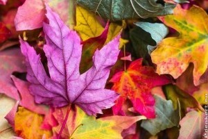Mi az oka a fák, cserjék őszi lombszínének?