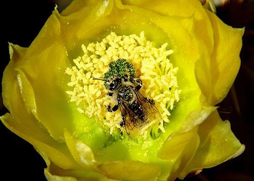 Kaktusz megporzása