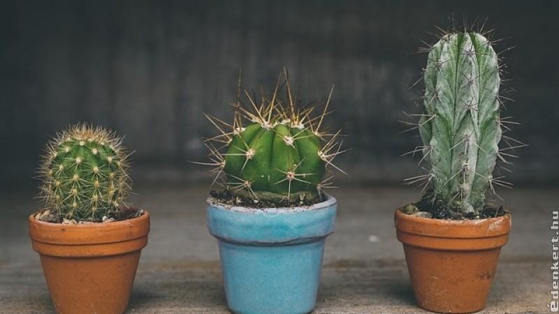 A kaktuszokról - praktikus tanácsok