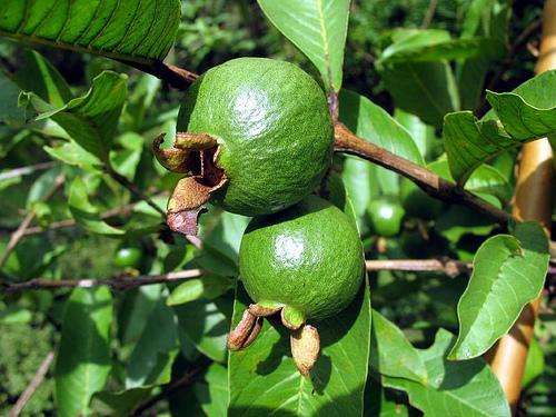 guava fa