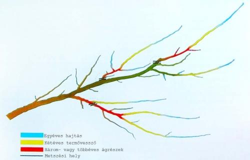 meggyfa-agrendszere