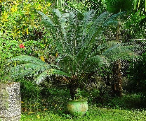 cikasz-palma