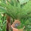 Ötlet a cikász pálma teleltetésére