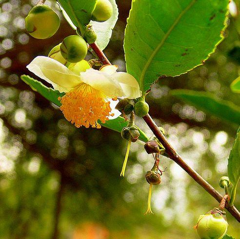 tea virággal