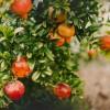 Mediterrán hangulatot idéz kertünkben a gránátalma