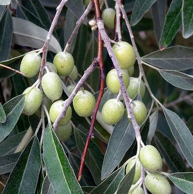 Ezüstfa bogyói
