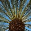 A datolyapálma (Phoenix canariensis)