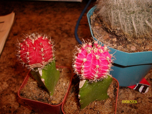 kaktusz oltvány
