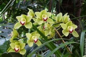 Virágzásához hűvös kell a csónakorchideának