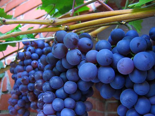 kék szőlő