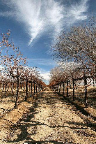 szőlő téli védelme