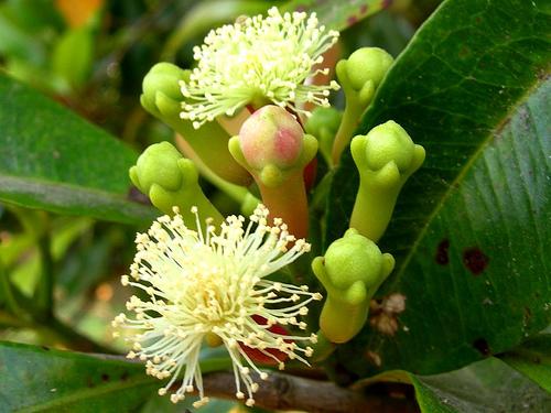 szegfűszegfa virága