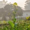 Milyen növények jók a zöldtrágyázáshoz?