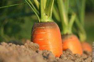 A sárgarépa, petrezselyem és a zeller vetése