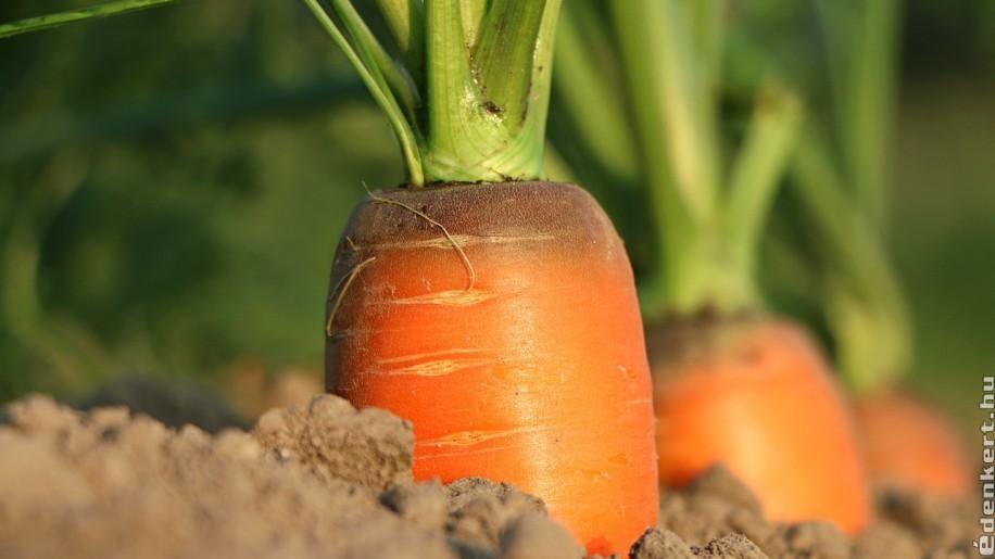 Milyen fajtájú sárgarépát, fehérrépát és zellert vessünk a kertben?