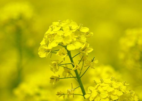 mustár-virága