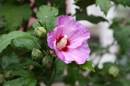 hibiscus-syriacus-malyvacserje